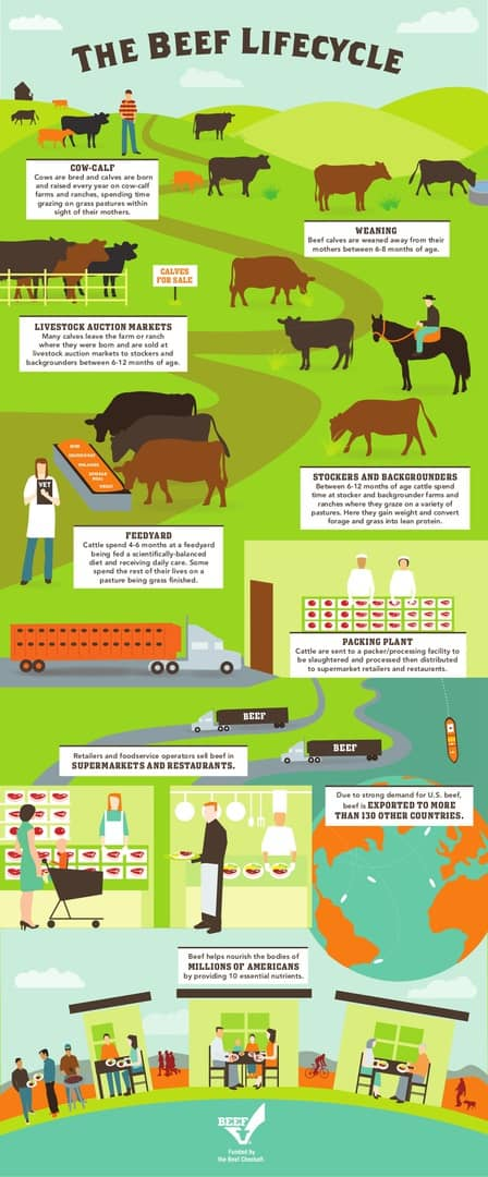 Infographic depicting the beef lifecycle